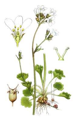 botanische-tekening-gr-knolsteenbreek