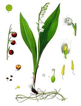 convallaria_majalis_-_kohler-s_medizinal-pflanzen-045