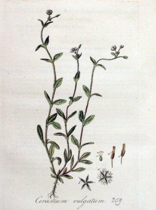 gewone-hoornbloem1