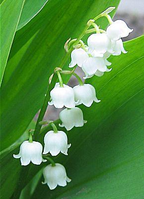 lelietjevandalenplantdetail