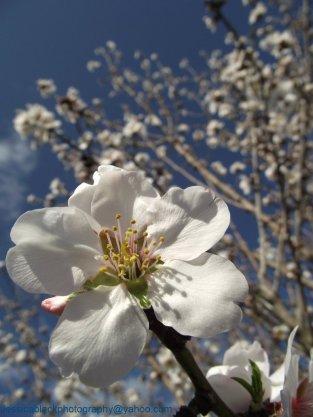 mighty_walnut_blossom_by_thejessicablack-d3bidva