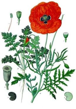 papaver_rhoeas_-_kohler-s_medizinal-pflanzen-101