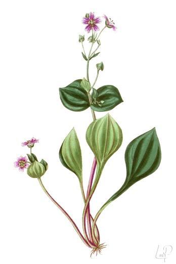 botanische-tekening-extragr-roze-winterpostelein