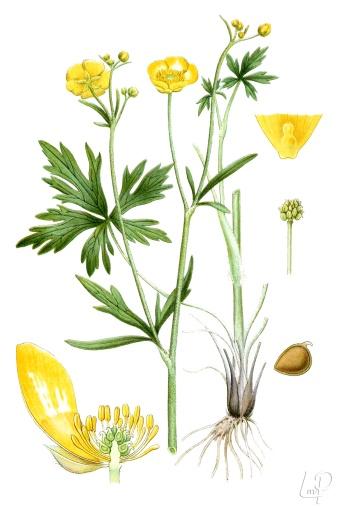 botanische-tekening-extragr-scherpe-boterbloem