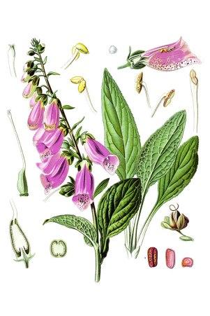 botanische-tekening-gr-vingerhoedskruid
