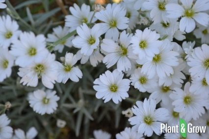 cerastium-tomentosum-viltige-hoornbloem-65_65_866_b