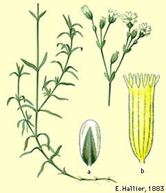 cerastium-tomentosum