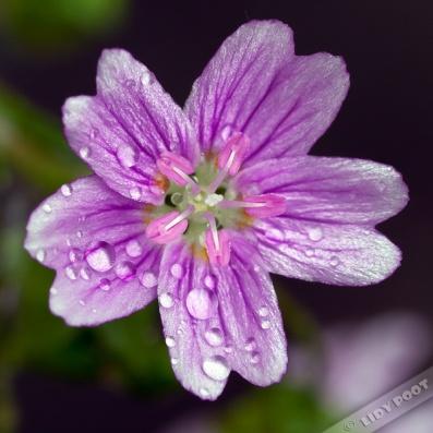 img_1830-gr-roze-winterpostelein
