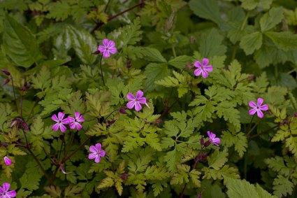 img_6473-geranium-robertianum