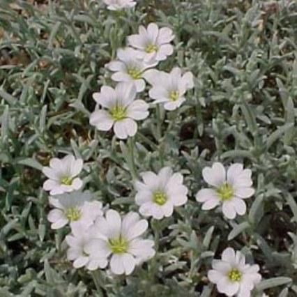 viltige-hoornbloem-4