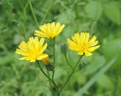 bloemen-akkerkool