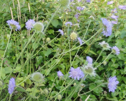 bloemen-beemdkroon