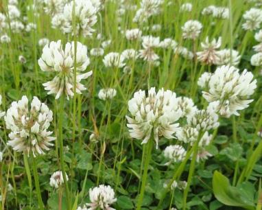 bloemen-witte-klaver1