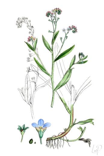 botanische-tekening-extragr-zompvergeet-me-nietje