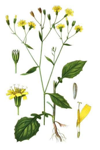 botanische-tekening-gr-akkerkool
