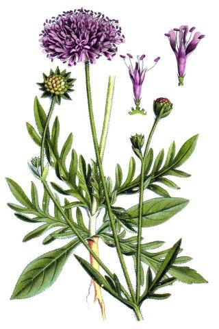 botanische-tekening-gr-beemdkroon