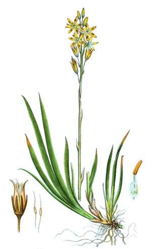 botanische-tekening-gr-beenbreek