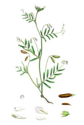 botanische-tekening-gr-vierzadige-wikke