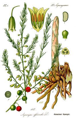 gewone asperge
