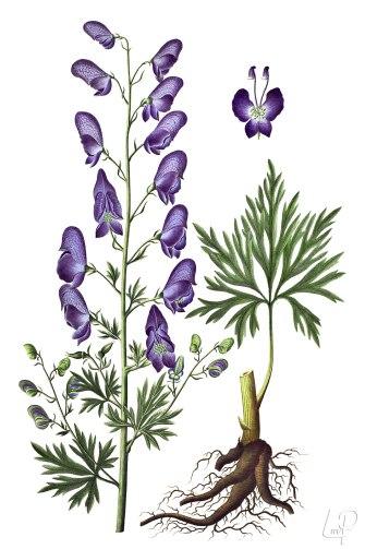 botanische-tekening-extragr-blauwe-monnikskap