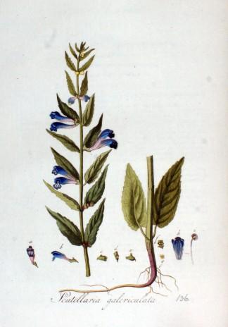 scuttelaria-galearica-img_9702