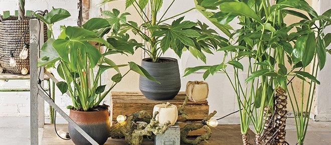 Alo vera for Grote planten voor binnen