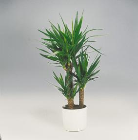 kentia palm. Black Bedroom Furniture Sets. Home Design Ideas